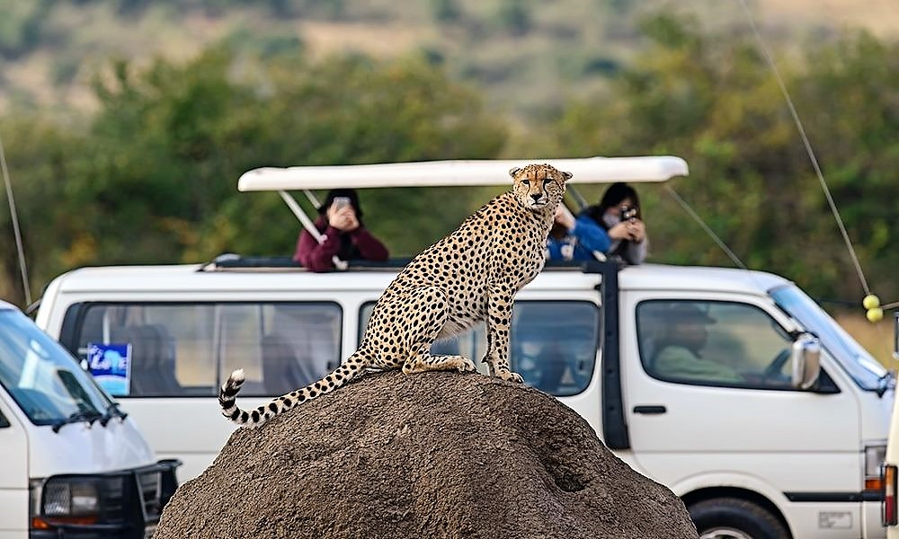 cheetah in Tsavo East