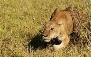 Lioness Hunting Safari