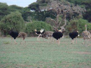 Birds Amboseli Ostriches