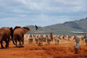 Tsavo West East Safari
