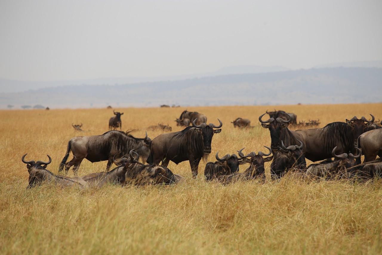 wildebeests Masai Mara
