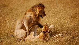 Lion and Lioness Masai Mara
