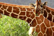 Samburu Game Reserve kenya