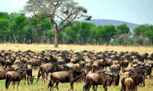 Migration safari herds Mara
