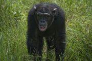 chimps at Olpejeta