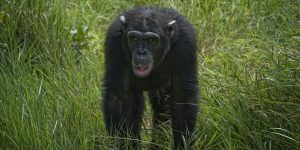 chimps at Olpejeta
