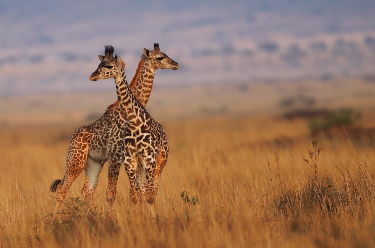 Kenya Honeymoon 11 Days Giraffe