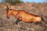 Masai Mara Wildlife Hartebeests
