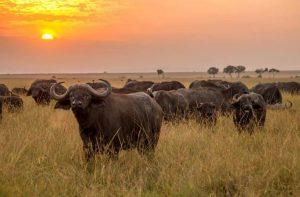 Meru National Park Buffaloes