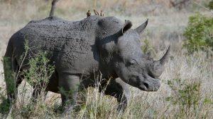 5 days kenya lodge safari Rhino