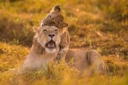 kenya safari lions