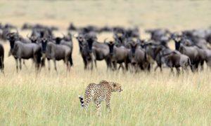 Masai-Mara-Safari-Cheetah
