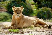 Lone Lioness Kenya Safari