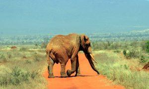 Tsavo West elephant