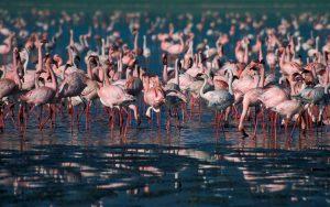 Flamingos lake Nakuru