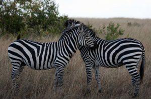 2 days safari from mombasa tsavo