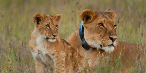 Lions Tracking Ol Pejeta