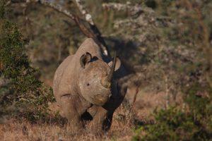 Ol Pejeta Conservancy Black Rhino