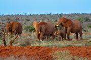 Tsavo East red Elephants