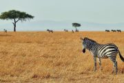 Kenya safari five days zebras
