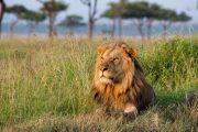 3 days Masai mara safari lion